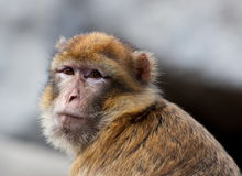 Macaque portrait. Nice portrait of a macaque Royalty Free Stock Photo