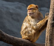 Macaque portrait. Macaque is looking back, praying Stock Photos