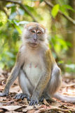 Macaque portrait in Gunung Leuser National Park Royalty Free Stock Image