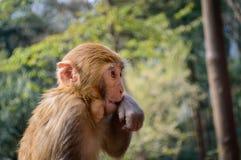 Macaque portrait Stock Image