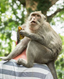 Macaque portrait monkey sits behind the neck tourists and eating banana (Macaca fascicularis) in Sacred Monkey Fo Stock Image