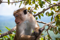 Macaque posing for photo Royalty Free Stock Photos