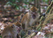 Macaque. The present owners of Langkawi island. Malaysia Stock Photo