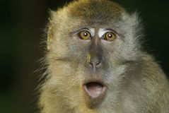 Macaque primate oops Royalty Free Stock Images
