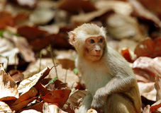 Macaque que se sienta al mediados de hojas secas Imágenes de archivo libres de regalías