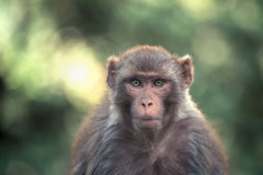 Macaque Royalty Free Stock Photos