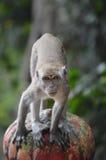 Macaque ready to pounce Stock Photos