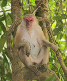 Macaque with red muzzle in a tree Stock Images
