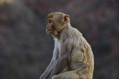 Macaque Rhesus in Galta India Royalty Free Stock Photos