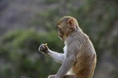 Macaque Rhesus in Galta India Royalty Free Stock Image