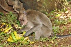 Macaque, Rhesus (Macaca mulatta) Stock Images