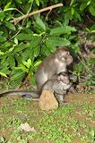 Macaque, Rhesus (Macaca mulatta) Stock Photography
