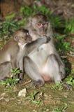 Macaque, Rhesus (Macaca mulatta) Royalty Free Stock Photos