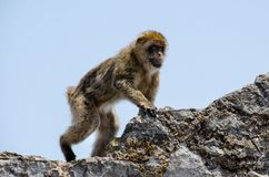 The Macaque on the rock, Gibraltar, Europe. The semi-wild Barbary Macaques, Gibraltar, Europe Royalty Free Stock Photo