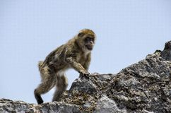The Macaque on the rock, Gibraltar, Europe. The semi-wild Barbary Macaques, Gibraltar, Europe royalty free stock images