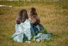 Macaque on the rock Royalty Free Stock Photography