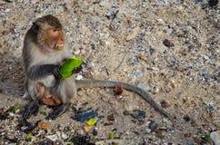 Macaque salvaje Fotografía de archivo
