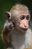 Macaque sauvage image stock