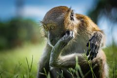 The macaque scratches on the head using the lower limb, the monkey sits on a green grassy meadow, National Park in Thailand royalty free stock photos
