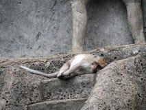 Macaque se trouvant sur les escaliers en pierre dans Bali, Indonésie photos libres de droits