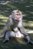 Macaque seated Stock Photography