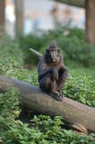 Macaque Shocked Royalty Free Stock Photo