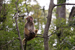 Macaque sit on tree Royalty Free Stock Photos