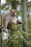 Macaque sit on tree and watch something Royalty Free Stock Photography