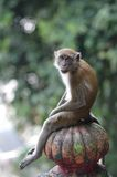 Macaque sits on stairs. A  macaque sits in a human like position outside the Batu caves in Malaysia Royalty Free Stock Image