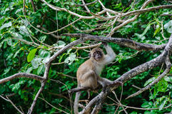 Macaque sitting on a mangrove tree. Macaca fascicularis Stock Photography