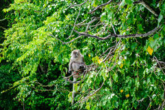 Macaque sitting on a mangrove tree. Macaca fascicularis Royalty Free Stock Images