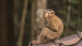 Macaque Sitting on Roof. Macaque, Macaca, is sitting on roof with an innocent pose at Khao Yai National Park in Thailand Royalty Free Stock Photos