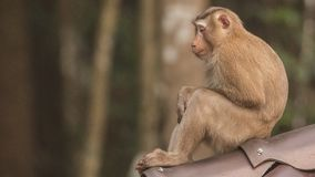 Macaque Sitting on Roof. Macaque, Macaca, is sitting on roof at Khao Yai National Park in Thailand Stock Images