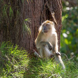 Macaque sitting on a tree in Gunung Leuser National Park Stock Photography