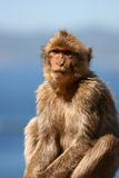 Macaque with sky and ocean bac. Portrait of macaque with sky and ocean blurred in background. Taken in Gibraltar Royalty Free Stock Photos