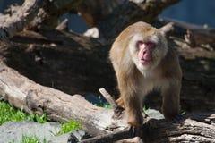 Macaque (Sneeuw) Aap stock afbeelding