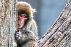 Macaque (Snow) Monkey's in High Dynamic Range hdr Royalty Free Stock Photo
