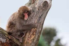 Macaque (Snow) Monkey's Royalty Free Stock Images