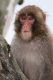 Macaque (Snow) Monkey's Royalty Free Stock Photography