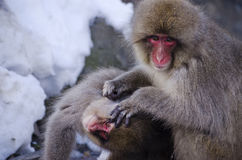Young Macaque Snow Monkeys. Macaque Snow Monkeys grooming in the snow Royalty Free Stock Photos