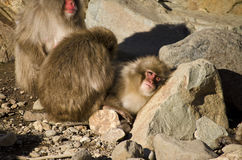 Family of Macaque Snow Monkeys. Macaque Snow Monkeys Grooming by some rocks Royalty Free Stock Photography