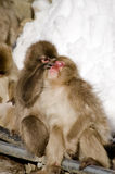 Family of Macaque Snow Monkeys. Macaque Snow Monkeys Grooming by some rocks Stock Photo