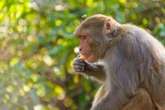 Macaque som äter en apelsin fotografering för bildbyråer