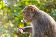 Macaque som äter en apelsin royaltyfria bilder