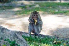 Macaque som äter mat Arkivbild