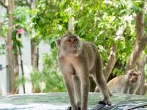 Macaque (som krabba-äter macaquen) Royaltyfri Bild