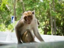 Macaque (som krabba-äter macaquen) Royaltyfri Foto