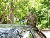 Macaque (som krabba-äter macaquen) Arkivbild