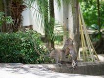 Macaque (som krabba-äter macaquen) på vandringsledet Fotografering för Bildbyråer