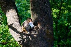 Macaque som slickar en plast- kopp royaltyfri fotografi